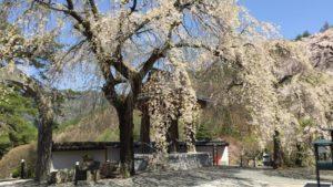 長谷寺の山桜