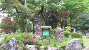 岐阜城の大木