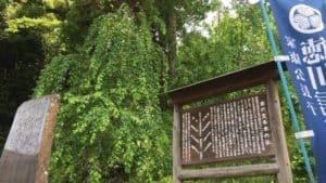 清瀧寺の金の生える木