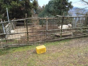 カレイ山展望公園のヤギさん
